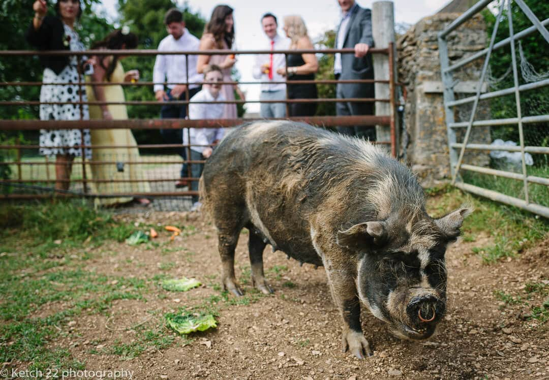Pig at wedding