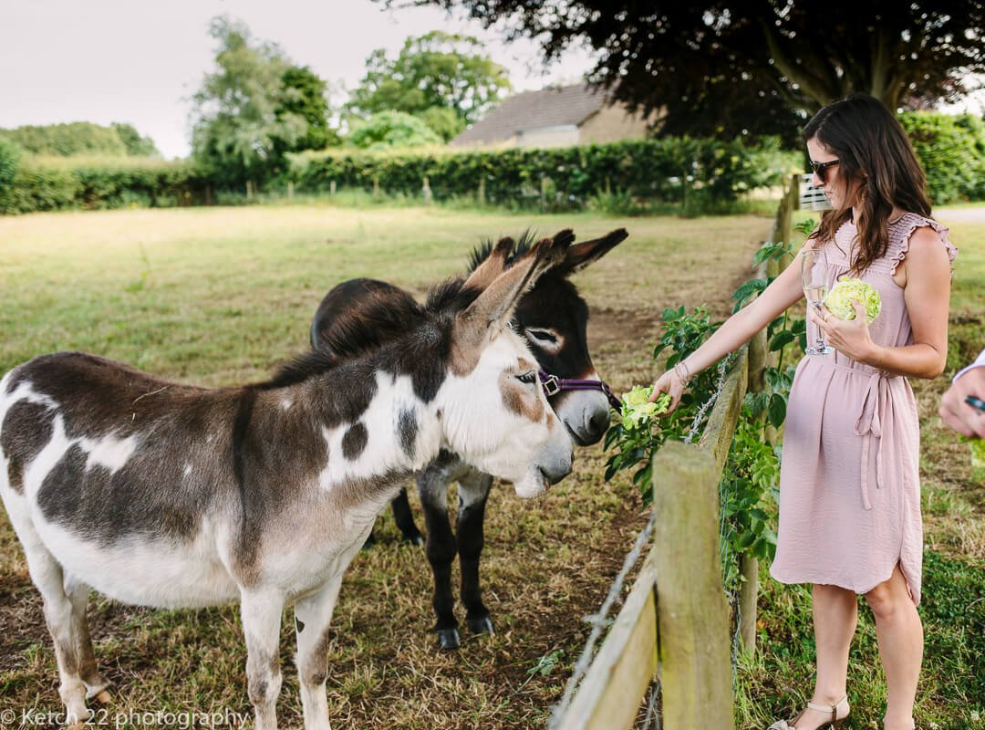 Wedding guest feeding donkey